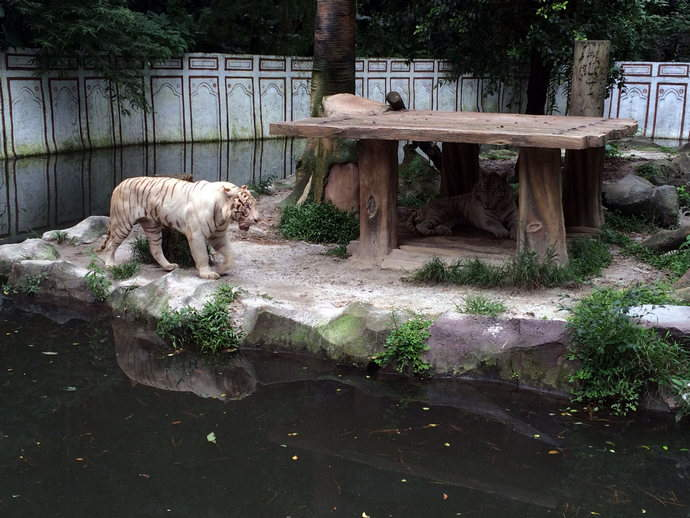White-tiger-bandung-punchak-cravings-feature